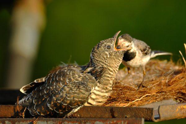 Kuckuck im Nest einer Bachstelze
